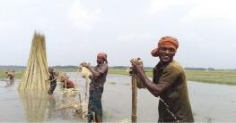 সোনালী আঁশে সুদিন ফিরছে চৌগাছার কৃষকদের