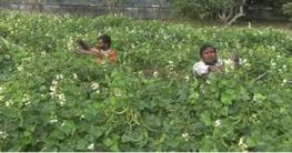 সবজি চাষ করে স্বাবলম্বী মণিরামপুরের ৩ হাজার পরিবার
