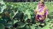 মেহেরপুরে দুই হাজার হেক্টর জমিতে কচু চাষ