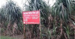 সরকারি উদ্যোগের ফলে লোকসান কমছে মোবারকগঞ্জ চিনি কলে