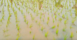 আগাম বোরো চাষে ব্যস্ত মনিরামপুরের কৃষক