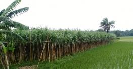 ফলন ভালো দামও বেশি, বাঘারপাড়ার আখ চাষীদের মুখে হাসি