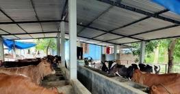 দুশ্চিন্তায় যশোরের মৌসুমি গরুর খামারিরা